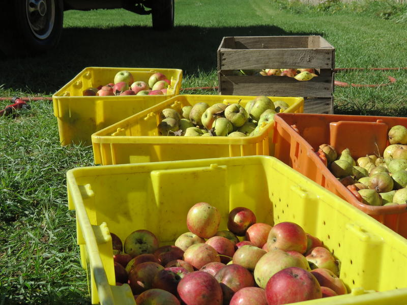 Donaldson uses a variety of apples and a few pears in her cider