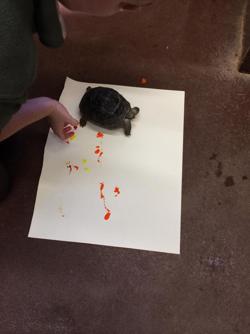 Ellie the tortoise gets started creating her masterpiece. Her feet are dipped in non-toxip paint, and she is allowed to roam across the canvas.