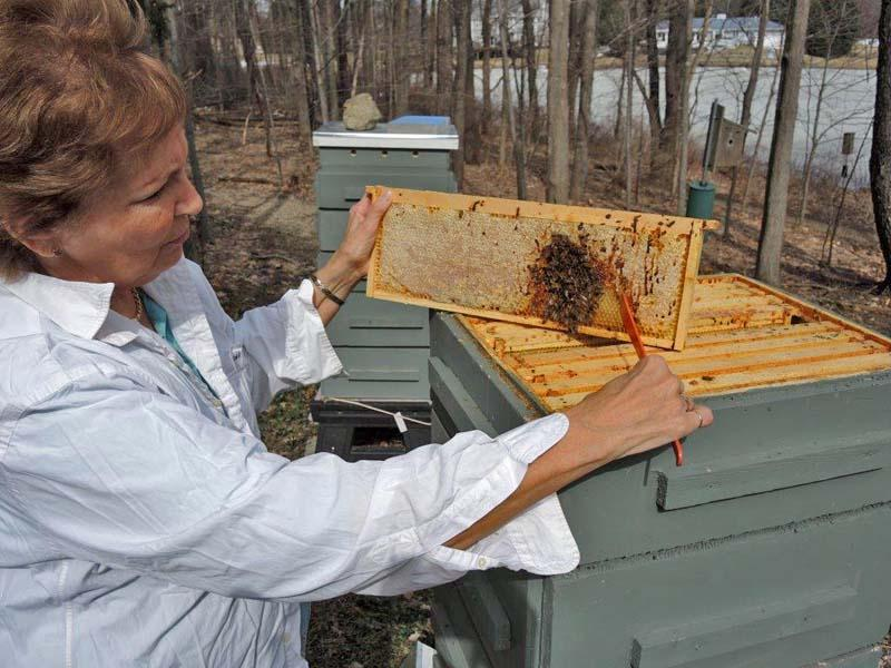 Patricia Grupp inspecting her bee hive after the long, cold winter