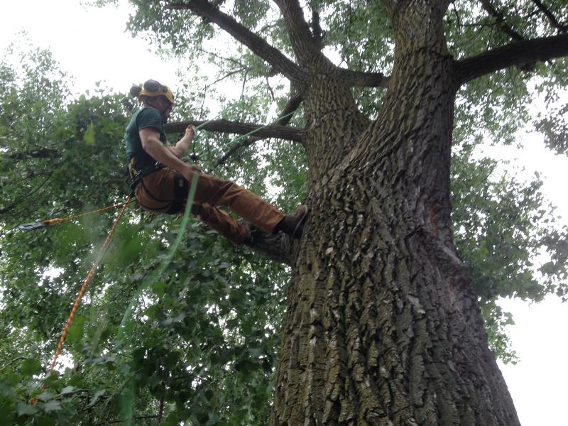 Nate Jansen of Bartlett Tree Experts demonstrates a normal climb for work at his parent's home