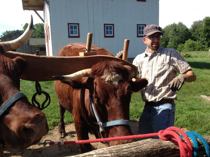 Rob Collins, President of the Midwest Ox Drovers Association, secures the yoke before untying the oxen from the post.