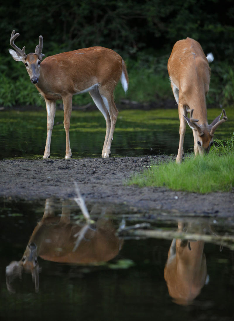 A pair of white-tailed deer bucks feed by waters edge at dusk at Greater Fouty-Rutkowski Pond in East Lansing