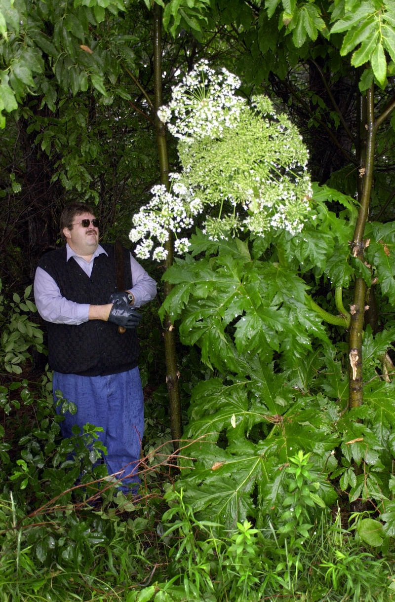 Pennsylvania Department of Agriculture agent Michael Zeller stands beside a flowering a giant hogweed plant before cutting it down and spraying it on a farm in McKean, Pa.