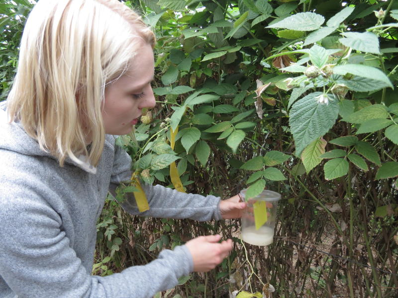 Michigan State University graduate student Heather Leach takes one of the spotted wing drosophila yeast traps off of a raspberry bush
