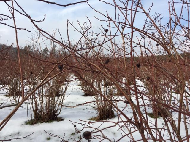 Galls hang from blueberry bushes on WMUK correspondent Joan Donaldson's organic blueberry farm