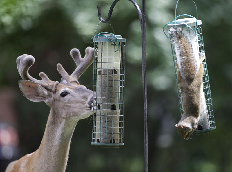 A deer and a squirrel eat from bird feeders Tuesday, June 3, 2014, in Nashville, Tennesse.