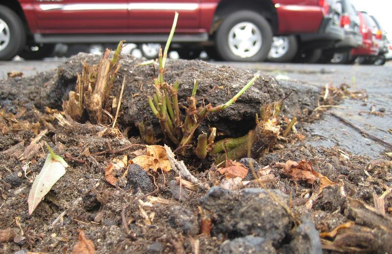 Japanese knotweed pushing up through concrete on South Westnedge Avenue in Kalamazoo.