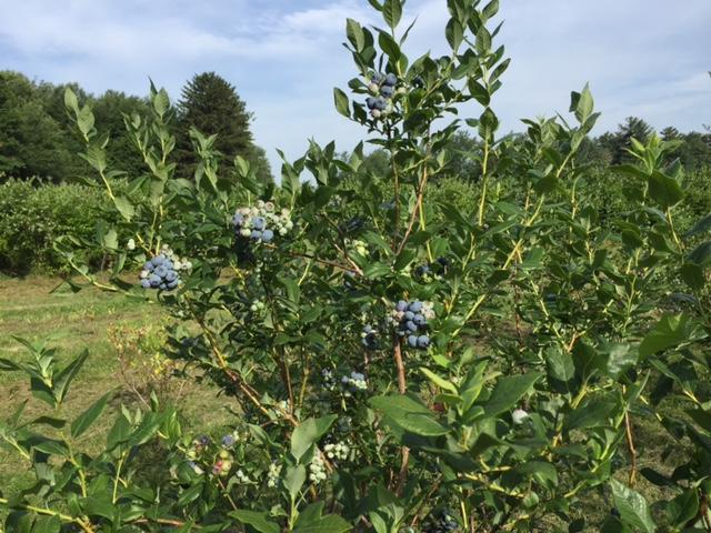 A blueberry bush at Pleasant Hill Farm