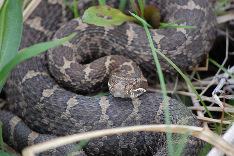 Eastern Massasauga Rattle Snake
