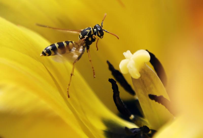 A wasp hovers over a tulip on a warm spring day in Washington Park on Thursday, May 2, 2013, in Albany, N.Y.