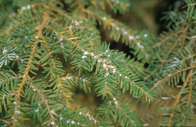 Hemlock woolly adelgid makes this small, cotton-like sacs at the base of the needles of a hemlock tree
