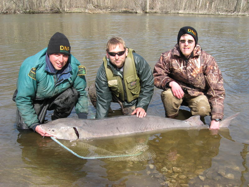 A lake sturgeon caught during a 2010 DNR survey, with (from left to right) Olen Gannon, Mike Wilson and Brian Gunderman.