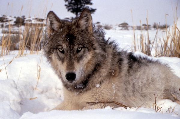 A gray wolf, an endangered species