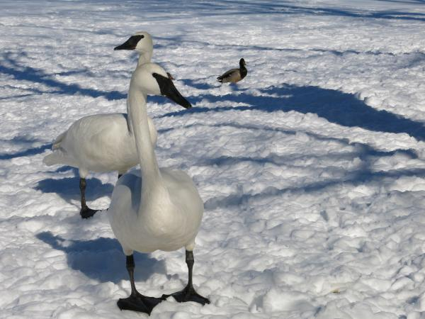 Trumpeter swans walk on the snow at the Kellogg Bird Sanctuary near Augusta.