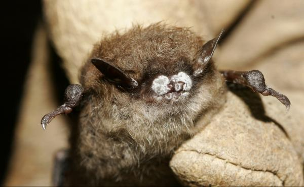 A little brown bat from New York State with white-nose syndrome.