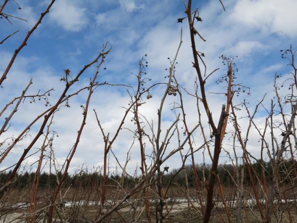 Raspberry plants at a farm in Van Buren County in early spring.