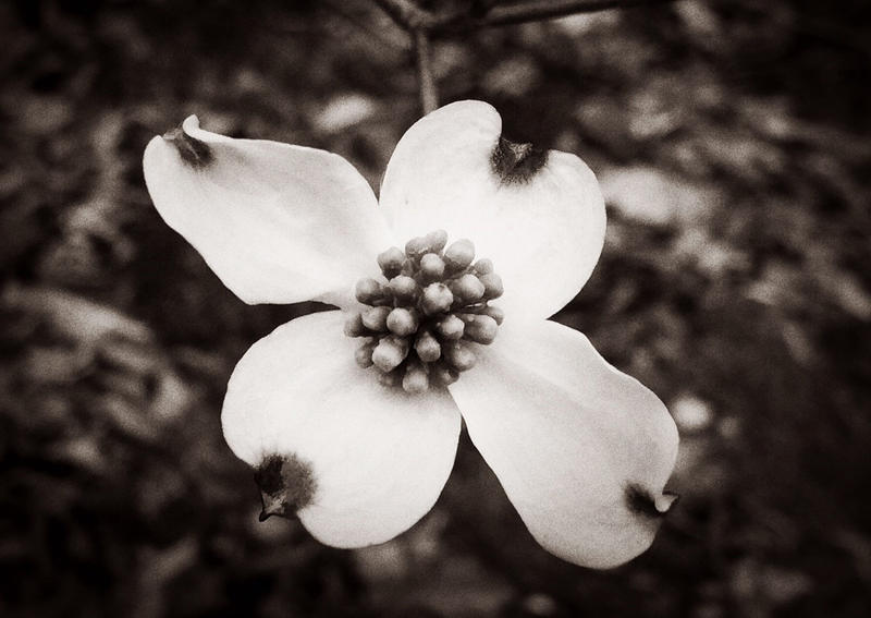 Black and white image of a dogwood bloom