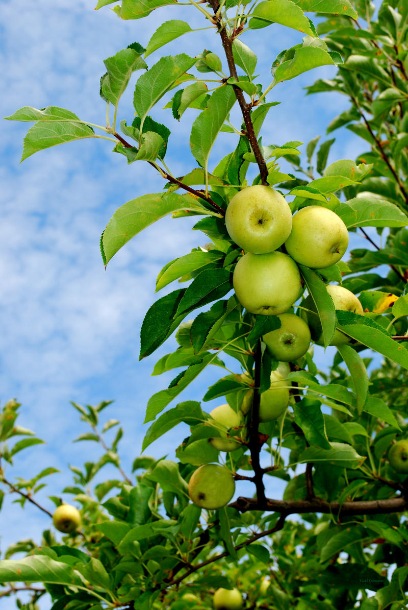 Green Apples With Blue Sky