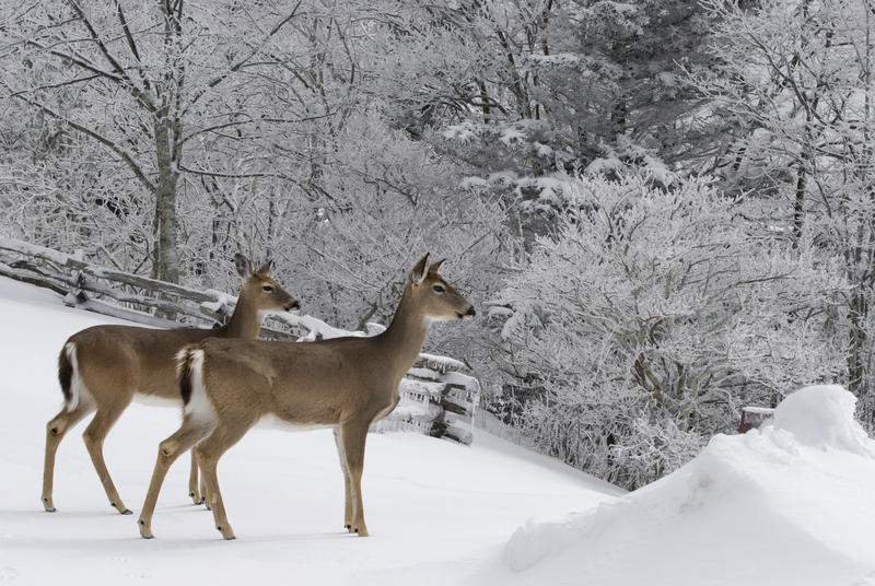 Image of two deer in the snow