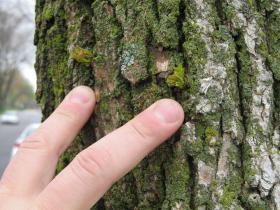 EAB expert Scott Schirmer identifies epicormic sprouting on an ash tree in DeKalb