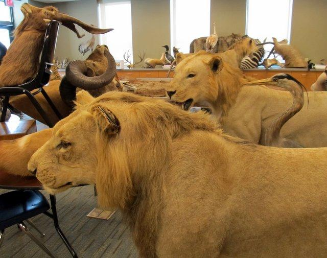 Lions and other assorted water-damaged beasts at Burpee Museum of Natural History