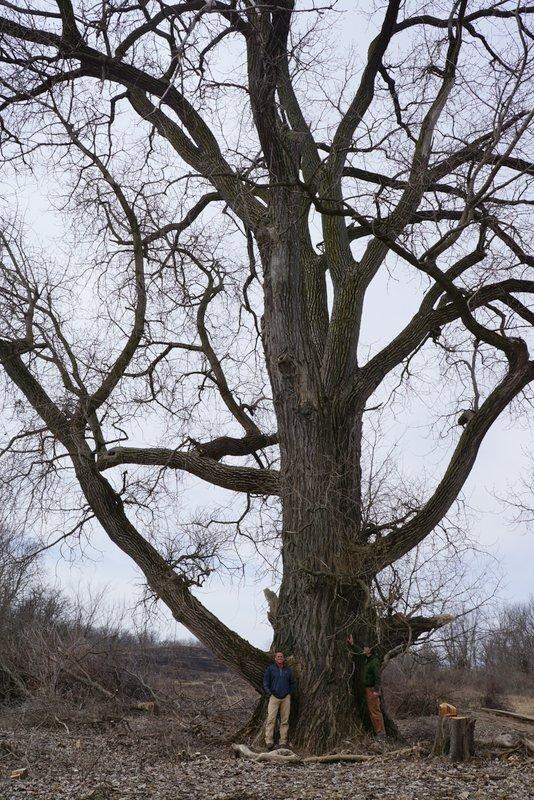 It's a challenge to fit the whole cottonwood tree into one photo.