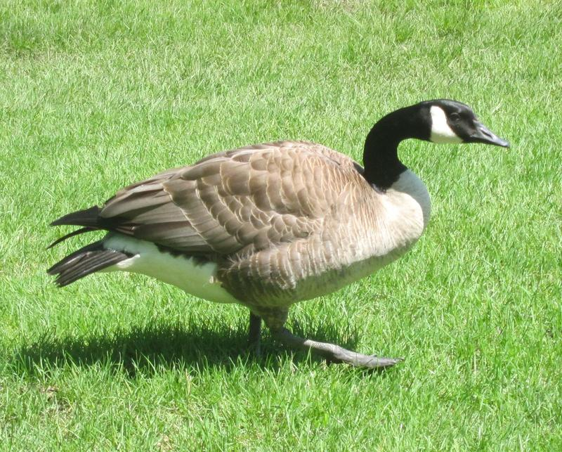 Flocks of Canada geese are settling into parts of Northern Illinois year-round.
