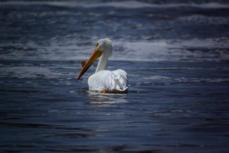 White pelicans are stopping in Oregon for food as they migrate.