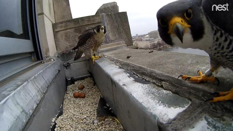 Rockford's nesting pair of peregrine falcons pose for the web camera that was set up at the Rockford Register Star building. A chick named Hightower successfully fledged from the nest.