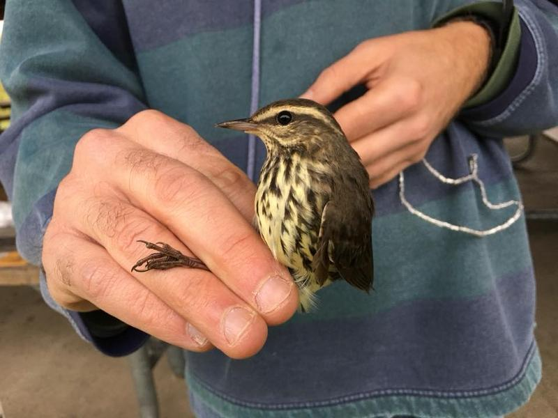 Northern waterthrush with a crossed mandible.