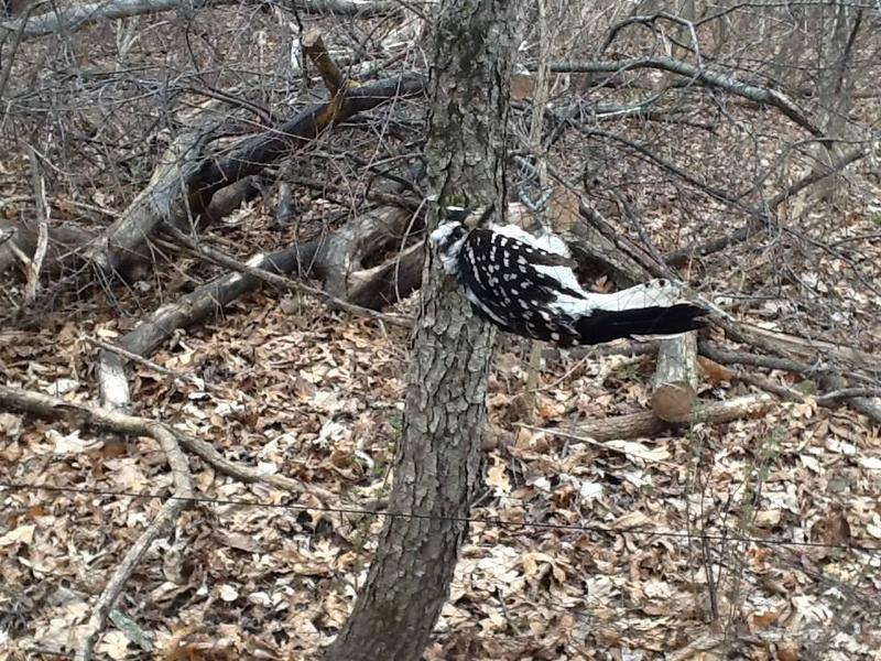 Downy woodpecker in the mist net