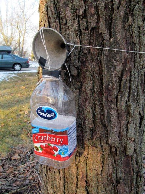 The rigged-up home version of maple sugaring