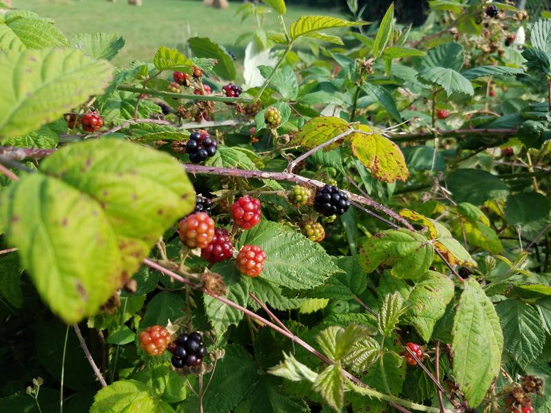 Blackberry bushes abound now as they did a century ago in Mussidan