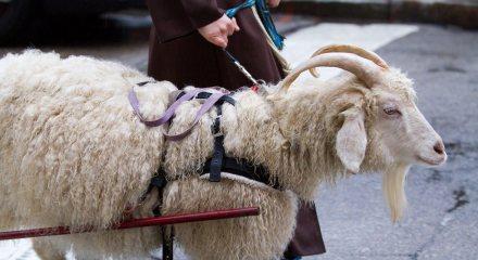 Schnitzel, the keg-towing goat.