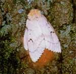 Adult female gypsy moth
