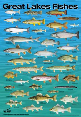 Whitefish the biggest catch on the great lakes wnmu fm for Lake erie fish species