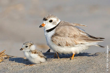 Piping Plover Return Anticipated Wnmu Fm