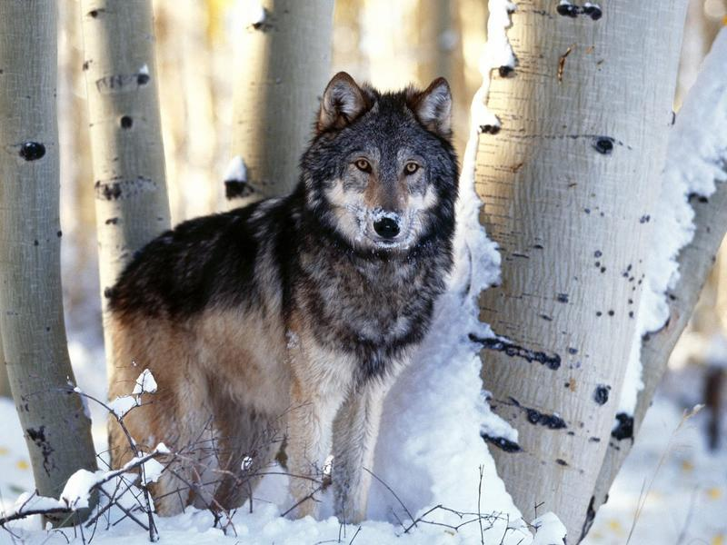 Some Lawmakers From The Region Had Hoped To Attach A Rider To Return  Management Of Wolves In Minnesota, Wisconsin, Michigan And Wyoming To The  States,