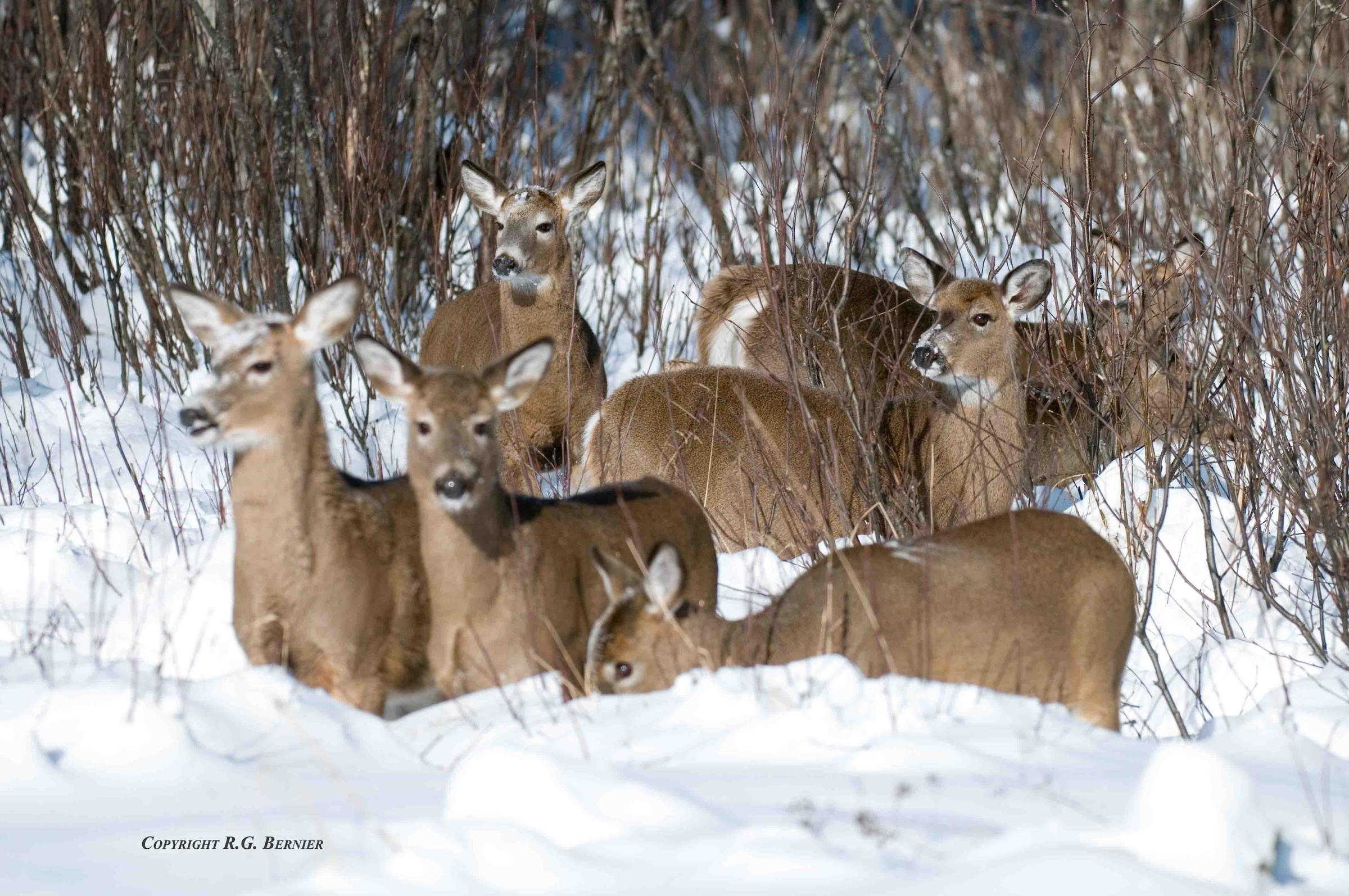 Wisconsin to study deer mortality | WNMU-FM