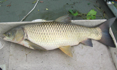 Study says grass carp have invaded 3 of the great lakes for Grass carp fish