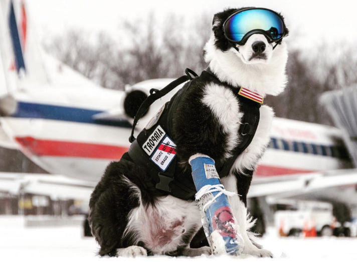 Piper the airport dog loses year-long battle to prostate cancer