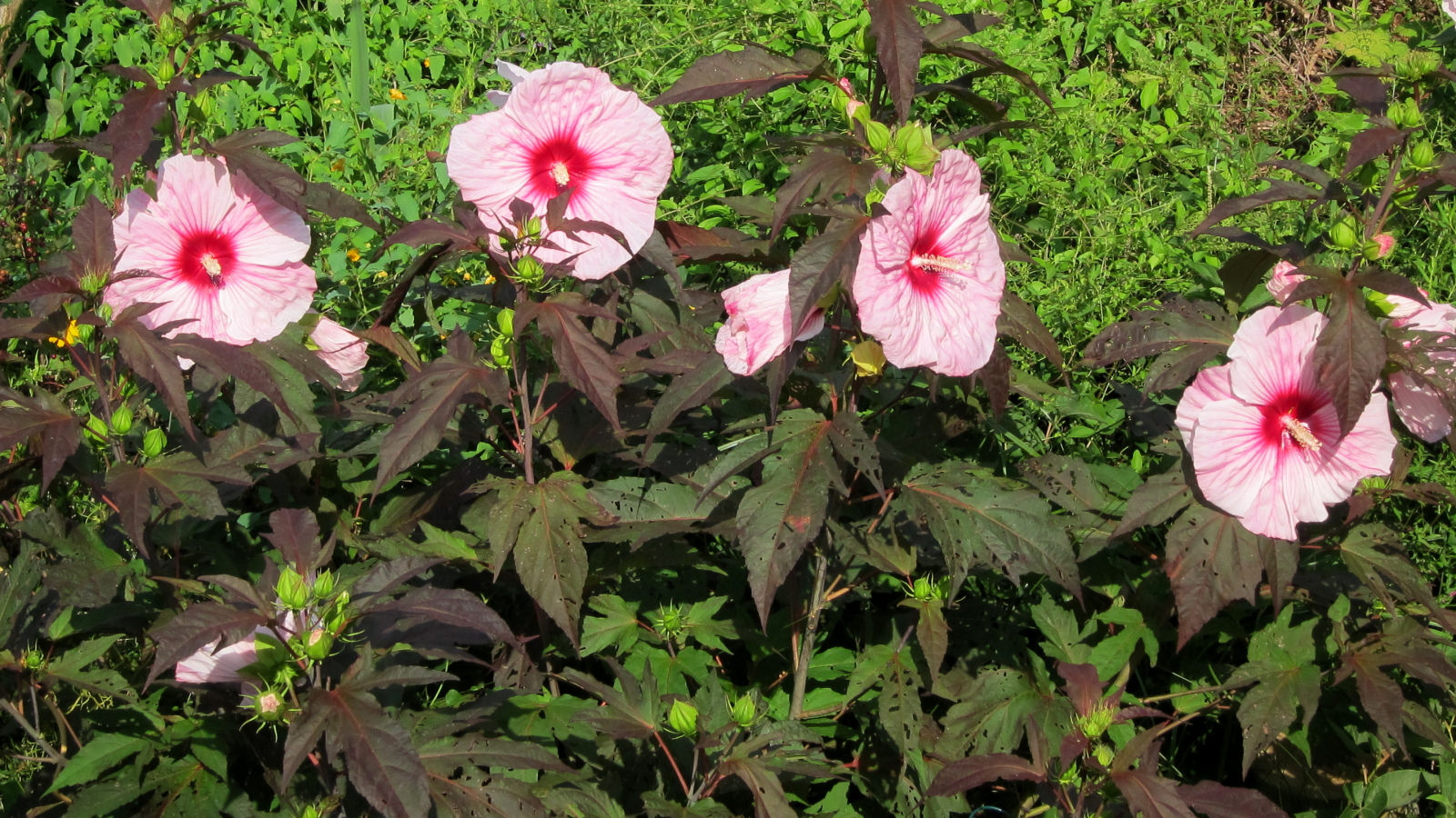 Connecticut Garden Journal Hardy Hibiscus Connecticut Public Radio