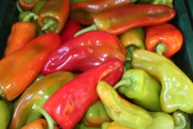 Sweet peppers from Oxen Hill Farm in Suffield.