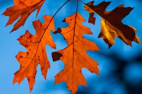 New England's red and yellow leaves are a great opportunity to talk about carotenoids, anthocyanins, and the chemistry in your backyard.