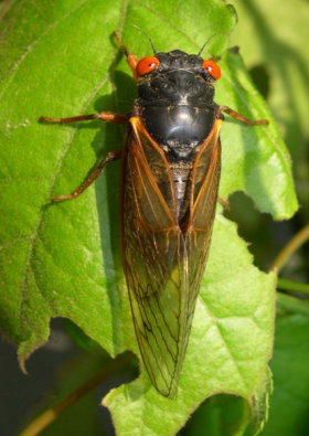 "A new species of 17-year cicada, dubbed ""magicicada septendecula"" was discovered in North Branford this summer."
