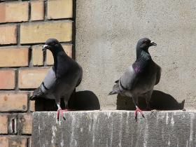 Pigeons have been both reviled and revered for over 5,000 years