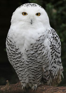 A female snowy owl.