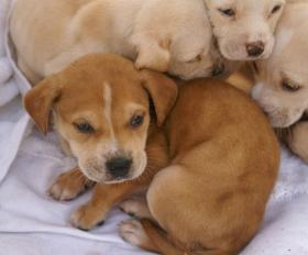 Lab mix pups