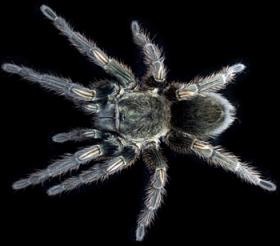 Researchers at Yale have identified what they say is a more efficient way to screen thousands of spider neurotoxins against different pain receptors in the body. Above, the Peruvian Green Velvet tarantula.