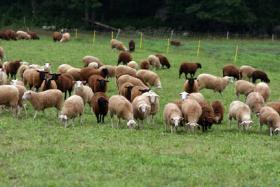 Sheep at Sankow's Beaver Brook Farm.